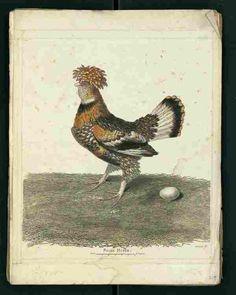 Gravure ancienne d'oiseau tirée de l'oeuvre de Buffon
