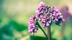 purple snowdrops. January birthflower