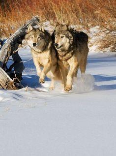 Wolf Photos, Wolf Pictures, Wolf Spirit, Spirit Animal, Beautiful Creatures, Animals Beautiful, Husky, Wolf World, Arte Sailor Moon