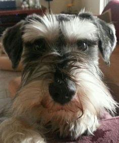 This face! My goodness! Mini Schnauzer, Miniature Schnauzer, Girls Best Friend, Best Friends, Adorable Puppies, Schnauzers, Good Things, Babies, Pets