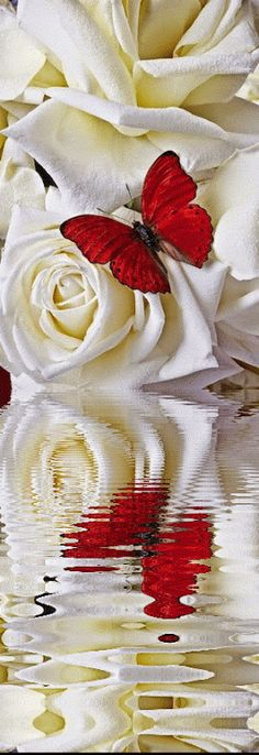 White roses & red butterfly with reflection in water. Butterfly Flowers, Beautiful Butterflies, Beautiful Roses, Beautiful Flowers, Beautiful Pictures, Gif Kunst, Rosas Gif, Water Reflections, Love Rose