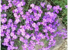 Tařička/Aubrieta - medonosná, bujně roste - tvoří polštáře, pro osázení zídek, slunné stanoviště, květ - březen, duben, květen, červen
