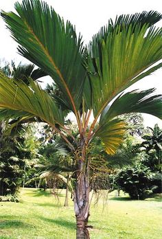 Thief palm Phoenicophorium borsigianum - Pacsoa Home Garden Design, Home And Garden, Tropical Plants, Tropical Gardens, Palm Trees Landscaping, Tree Fern, Walking Paths, Palmiers, Cool Plants
