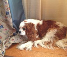 My sweet fur child waking up from a nap - EK, Blenheim Cavalier King Charles Spaniel