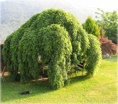 Sophora japonica, cousin de l'Acacia Sophora Japonica Pendula, Old Trees, Rare Plants, Acacia, Exotic, Green, Nature, Beautiful, Garden Ideas