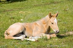 Palomino quarter horse foal laying down in green grass