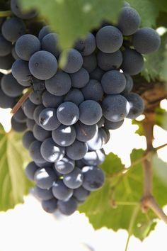 Malbec Grapes On The Vine, Argentina. Photo: Peter Langer