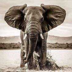 It's a picture gallery some of myself, pictures for content pictures for all occasions. Elephant Love, Elephant Art, African Elephant, African Animals, Elephant Drawings, Elephants Photos, Elephant Pictures, Baby Elephants, Nature Animals