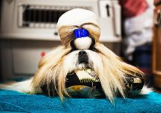 Shih-Tzu groomed and ready to compete, 2010 PH Dolly Faibyshev: Westminster Dog Show