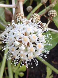 The flower of the Fatsia Japonica is one of the bees favourites today