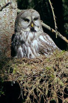 カラフトフクロウ | フィンランド・ノルウェーの鳥 ...