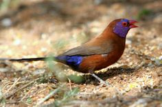Violet - eared Waxbill by Jonathan Rossouw