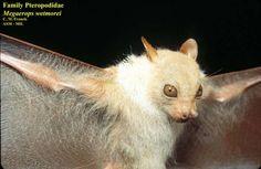 White-collared Fruit Bat (Megaerops wetmorei)