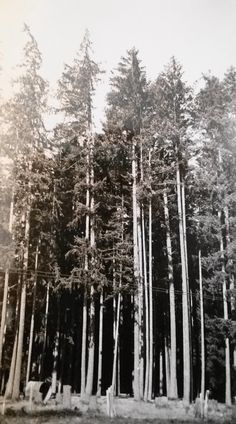 Vintage Photo..Tall Trees..1950's Original Photo, Old Photo Snapshot, Vernacular Photography, Artistic Altered Art, Americana Everyday Life by iloveyoumorephotos on Etsy