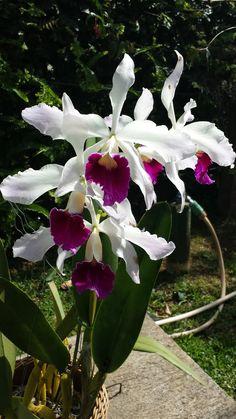 Floração 2015   Foto e cultivo MGloria M      Planta originaria do Okabe Orquídeas, sendo o terceiro corte da planta mãe...
