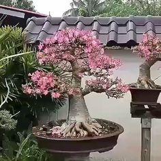 Bonsai Fruit Tree, Bonsai Tree Types, Bonsai Art, Bonsai Plants, Bonsai Garden, Bulb Flowers, Flowers Nature, Beautiful Flowers, Plantas Bonsai