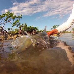 Bonefish on the fly release.