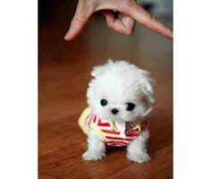 Micro Maltese.  Oh my gosh, I know i'm vegan, but I wanna eat this little puppy!!!!! NOM!!!