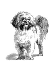 Items similar to Pencil Pet Portrait Print Pencil Sketch of a Lhasa Apso Copy of Original Drawing on Etsy Lhasa Apso, Purebred Dogs, Rat Terriers, Studios, Hand Sketch, Small Dog Breeds, Small Breed, Drawing Sketches, Sketching