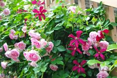 Clematis 'Madam Julia Correvon' blooming with pink climbing rose.