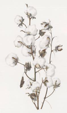 cotton, defoliated