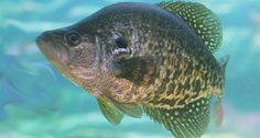 Winter is the best time to catch your limit in crappie, and by following these tips for winter crappie fishing you'll have your livewell filled in no time.