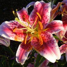 Stargazer Lilies