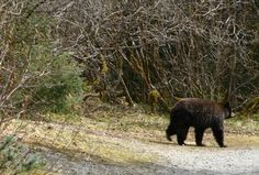 Bear Encounter, Juneau, Alaska, 2006