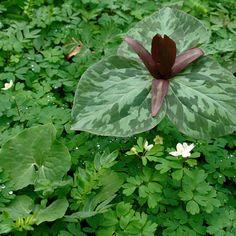 Tennessee Wildflowers   Trillium cuneatum