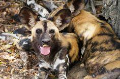 Hwange-Nationalpark - Wildhund Wild Dogs, Safari, Travel, Animals, Zimbabwe, Country, Ruins, National Forest, Africa
