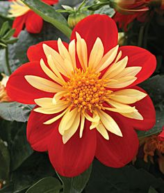 showtime dahlia................I hope mine come back this year...they have for the last 3yrs.