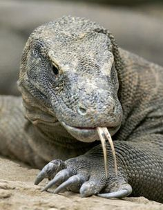 There are over 3,000 lizard species, but the Komodo dragon wins the prize for being the largest living lizard in the world! It is a type of monitor lizard, an ancient species of reptile with ancestors that date back more than 100 million years. There is a stable population of about 3,000-5,000 Komodo dragons on the islands of Komodo, Gila Motang, Rinca & Flores. However, a dearth of egg-laying females, poaching, human encroachment & natural disasters has driven the species to endangered…