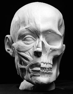 But it by my big bone sculpture Ecorche Facial Muscles Anatomical Artist Reference Facial Anatomy, Skull Anatomy, Head Anatomy, Anatomy Poses, Anatomy Drawing, Anatomy Art, Skull Reference, Anatomy Reference, Pose Reference