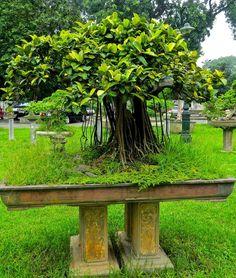 SPLENDID MARKET: Forests of Bonsai in Hanoi...