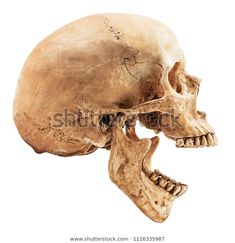 Human skull isolated on white background with clipping pathisolated Skull Reference, Figure Drawing Reference, Anatomy Reference, Dibujos Sugar Skull, Evolution Tattoo, Skull Model, Anatomy Art, Human Skull Anatomy, Human Skeleton