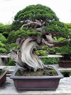 wonderful Bonsai