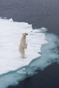 osos polares en peligro de extincion causas