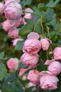 """luciepolis: """" Eden Roses """""""