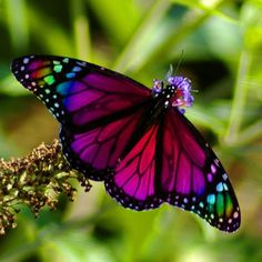 As colorful and beautiful as butterflies are, there is no such thing as a rainbow butterfly. This is a Monarch that's been photoshopped.