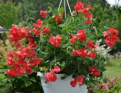 GAMLEDAGSE DUFT ERTEBLOMSTER. Blomster-Svein, Gartneriet på Grette Nøsteveien 120 3400 Lier www.blomste-svein.com
