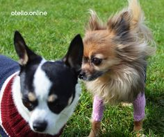 A Friendship forever. We love Dogs. Dog Sweaters, Chihuahua, Corgi, Friendship, Animals, Animales, Animaux, Chihuahua Dogs, Corgis