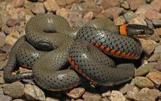 Snakes | Snakes Reptiles 1429x900 #11160 HD Wallpaper Res: 1429x900 | DesktopAS ...