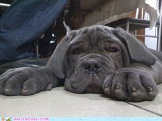 """The breed is commonly referred to as the """"Mastiff"""". Also known as the English Mastiff this giant dog breed gets known for its splendid, good natu British Mastiff, English Mastiff Puppies, English Mastiffs, Mastiff Breeds, Mastiff Dogs, Neo Mastiff, Giant Dog Breeds, Giant Dogs, Fierce Animals"""