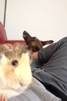 guinea pig photo bombs - Google Search