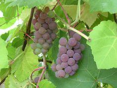 Vitis 'Fabel' (punertava rypäle) Viiniköynnös