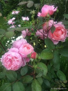 Englische Rose Brother Cadfael® Rosa Brother Cadfael® Duft++++ Aust rosa