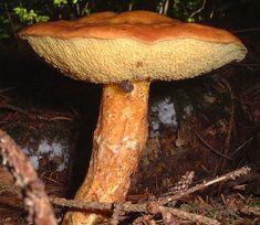 Larch Bolete (Suillus Grevillei) in The Pacific Northwest