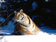 Tiger - Desktop-Hintergrundbilder: http://wallpapic.de/tiere/tiger/wallpaper-31248