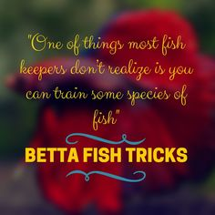 Betta Fish Tricks.  One of things most fish keepers don't realize is you can train some species of fish.   Click here to learn how you can train your betta.