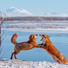 Check out these playful red foxes at #Alaska Peninsula #WildlifeRefuge by Robert Dreeszen #nature